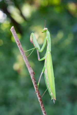 european mantis: photography macro of european mantis with natural background Stock Photo