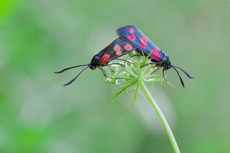 zygaena: macro photography of six spot burnet mating (Zygaena filipendulae)