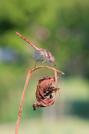 sympetrum: macro photography of Sympetrum sanguineum with natural background