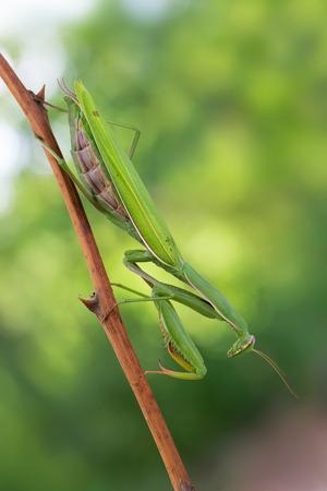 european mantis: photography macro of european mantis on sprig