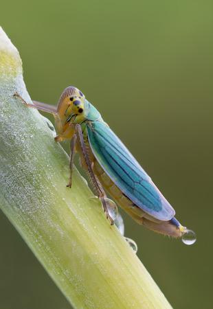 viridis: macro photography of Cicadella Viridis with drops Stock Photo