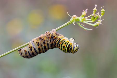 machaon: macro photography of Papilio machaon caterpillar dead