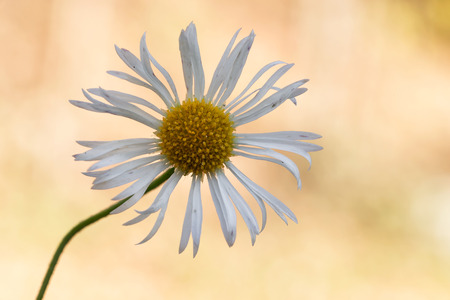 macro photography of common daisy (Bellis perennis)