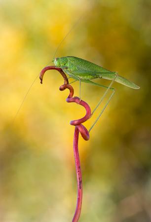 falcata: macro photography of phaneroptera falcata male Stock Photo