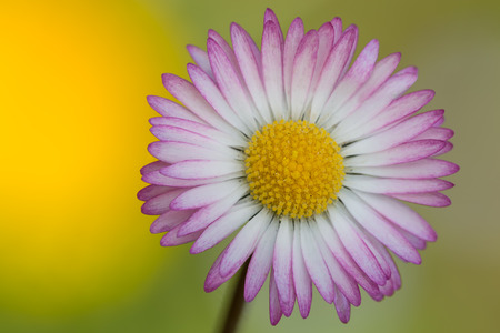 floreal: macro photography of common daisy (Bellis perennis)