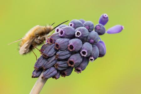 animalia: macro photography of bombylius on flower of muscari neglectum