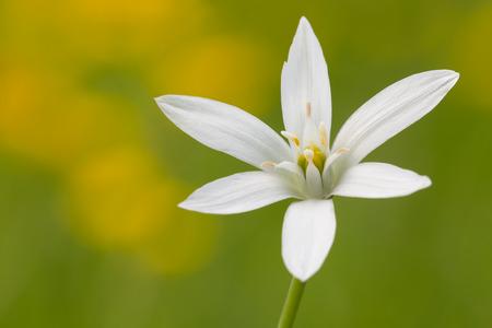 ornithogalum: macro photography of Ornithogalum flower with natural background