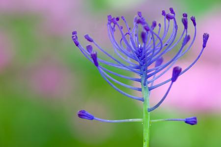 자연 배경으로 Leopoldia comosa 꽃의 매크로 사진 스톡 콘텐츠