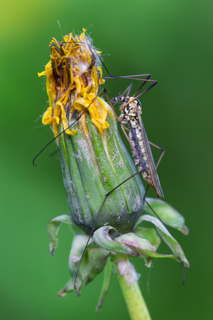 crane fly: macro photography of crane fly on common dandelion