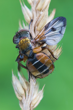 hexapoda: macro photography of ectophasia crassipennis male with natural background