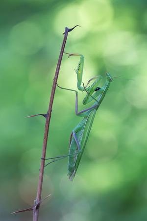 european mantis: photography macro of european mantis on flowers Stock Photo