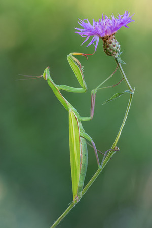 photography macro of european mantis on flowers Stock Photo