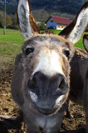 big ass: donkey face Stock Photo