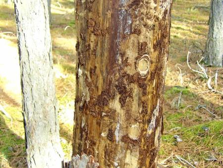 bark beettle on tree Stok Fotoğraf