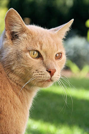 Portrait of a unique ginger cat, one green and one brown eye Stock Photo