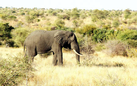 Portrait of an old elephant bull in a national park