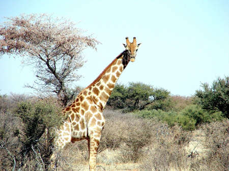 Male giraffe in game farm looking at us