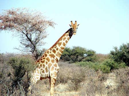 Portrait of a Giraffe in a gamefarm