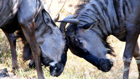 Portrait of two blue wildebeest fighting Stock Photo