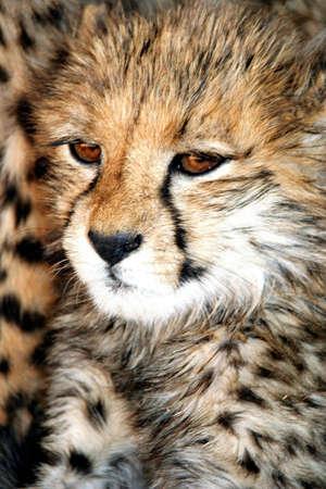 Portrait of cheetah against skin of parent