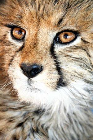 Cheetah cub with huge brown eys