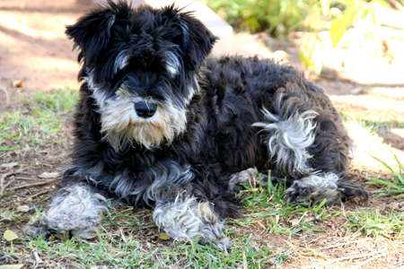 portrait of a black and white, puppy lying outside in the garden Stock Photo