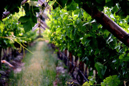 portrait of vineyard, green leavy grapes and brown wooden poles Stock Photo