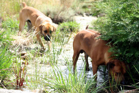 portrait of two boerbul dogs drinking water in a river steam
