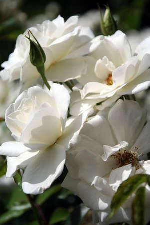Portrait of white iceberg roses, symbolising purity