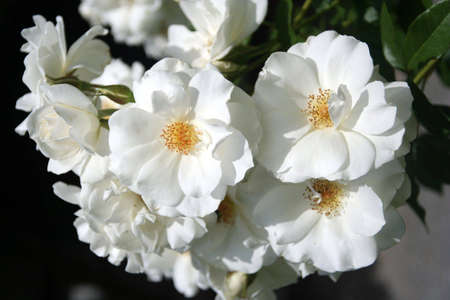 Portrait of a bunch of white iceberg roses in a garden