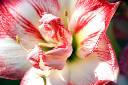 macro portrait of a white and red amaryllis flower