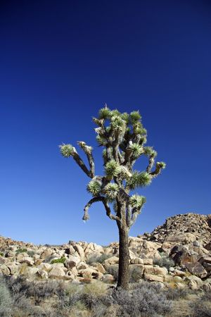 A joshua tree stands alone in Joshua Tree National Park