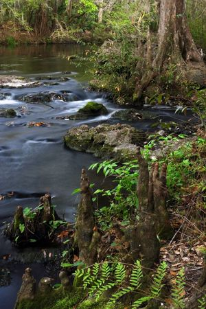 Cypress Knees in the Hillsborough River Stock Photo