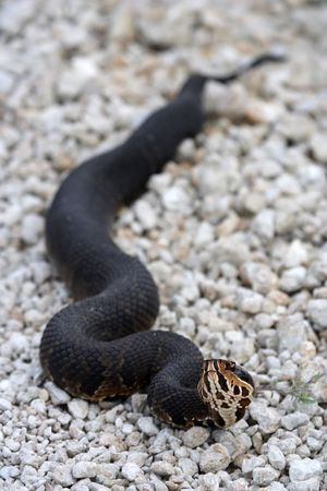 everglades: Venemous Cottonmouth in the Everglades Stock Photo