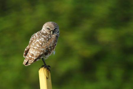 burrowing: Burrowing Owl at Florida Atlantic University Stock Photo