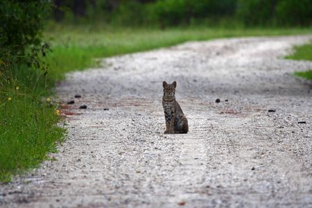 Bobcat in the Everglades, Big Cypress National Preserve Stock Photo - 7077695