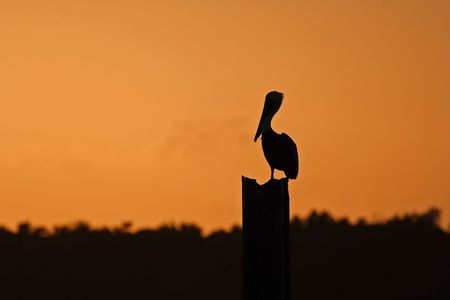 Pelican Silhouette, Biscayne National Park