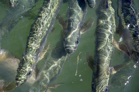 Hungry tarpon gather in the Florida Keys Stock Photo