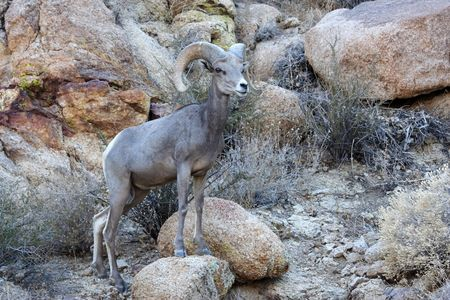 Desert Bighorn in Joshua Tree National Park, California