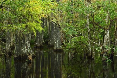 marsh plant: Alberi di cipresso in Big Cypress nazionale conserva, Florida