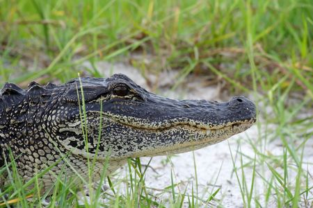 Alig�tor americano en los Everglades, nacional de Big Cypress conservar
