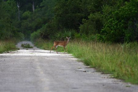 A deer crosses an old roadbed in Picayune Strand State Park, Florida Everglades Stock Photo - 7556438