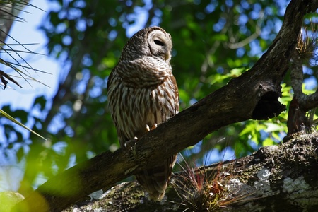 Barred Owl in the Everglades, Fakahatchee Strand Preserve State Park