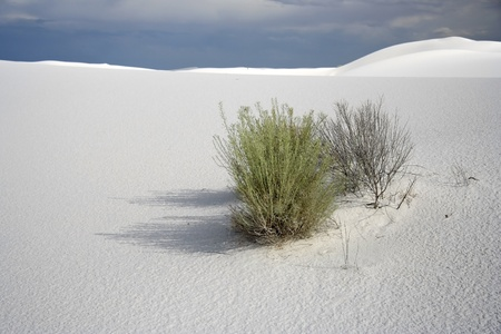Plant Life, White Sands National Monument, New Mexico photo