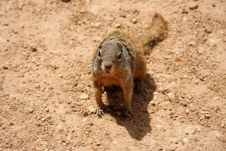 A squirrel in Grand Canyon National Park photo