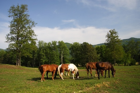 Horses graze in Cades Cove, Great Smokey Mountains National Park Stock Photo