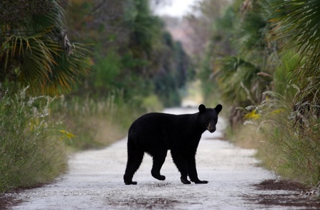 Black Bear on Janes Scenic Highway, Florida Everglades Stock Photo