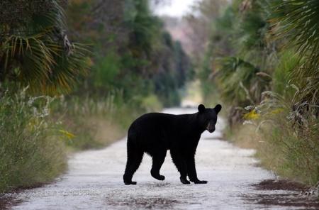Black Bear on Janes Scenic Highway, Florida Everglades Stock Photo