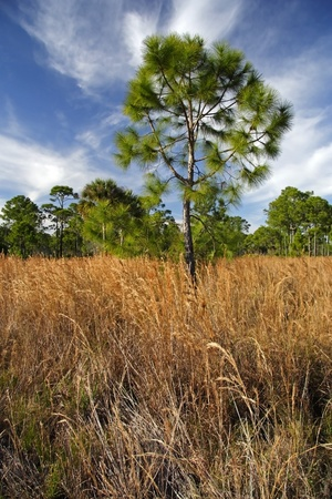Scenic Everglades Pinelands Landscape, Dubuis Management Area