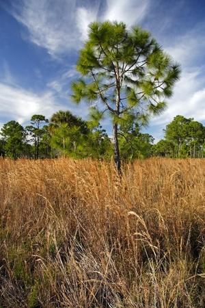 Scenic Everglades Pinelands Landscape, Dubuis Management Area